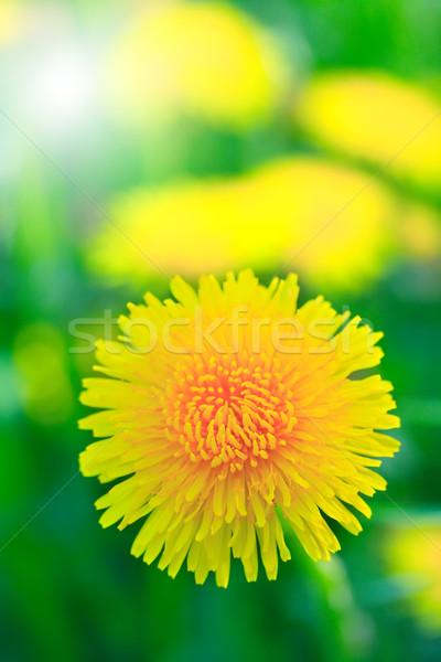 Amarelo dandelion bom verde campo Foto stock © cosma