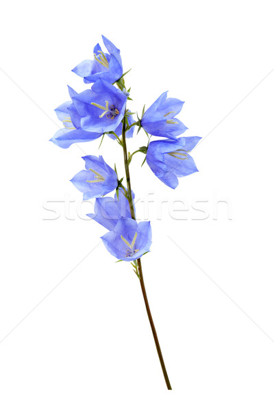 Mavi kır çiçeği güzel kır çiçeği yalıtılmış beyaz Stok fotoğraf © cosma