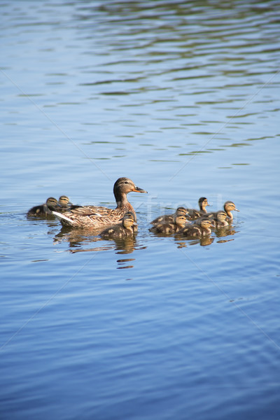 Duck With Her Childs Stock photo © cosma