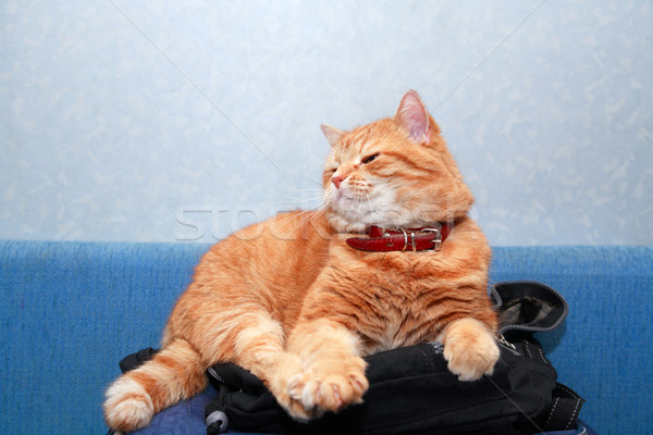 Ginger Domestic Cat Stock photo © cosma
