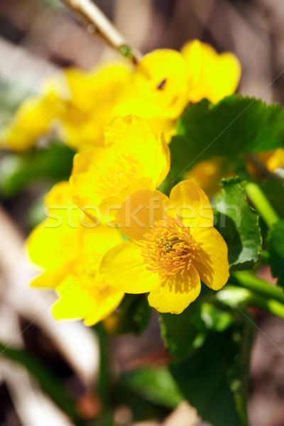 Nice желтый Полевые цветы лес цвета Сток-фото © cosma