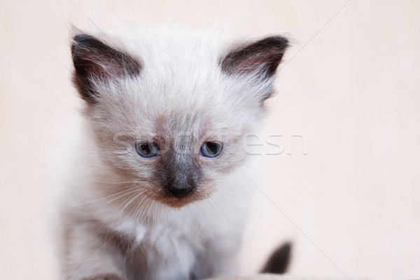 Nice Kitty Portrait Stock photo © cosma