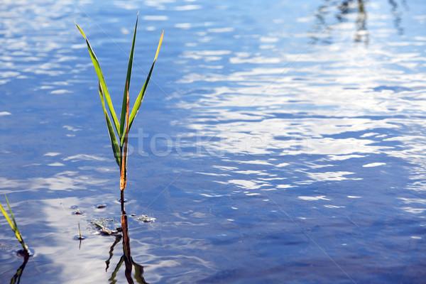Sedge In Water Stock photo © cosma