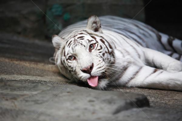 White Tiger Stock photo © cosma