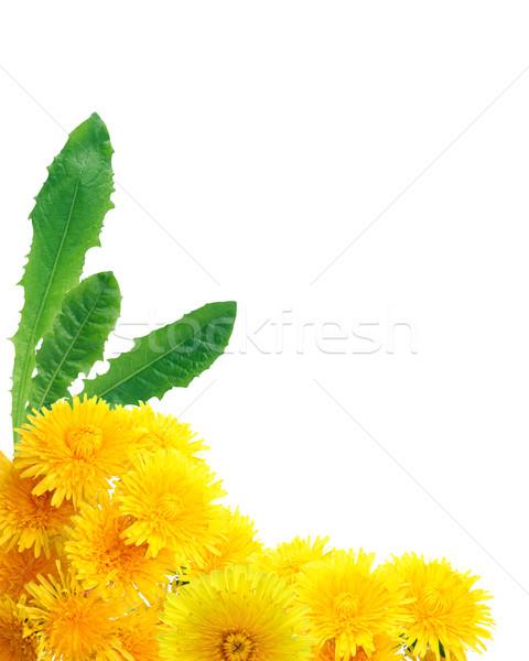 Amarelo leão fronteira bom dandelion flores Foto stock © cosma