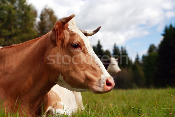 Cow On Pasture Stock photo © cosma