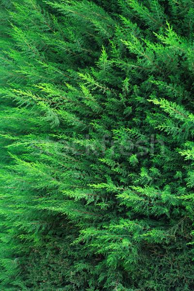 サイプレス いい 緑 クローズアップ 自然 シンボル ストックフォト © cosma
