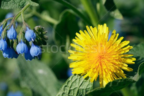 Полевые цветы желтый одуванчик синий диких цветов Сток-фото © cosma