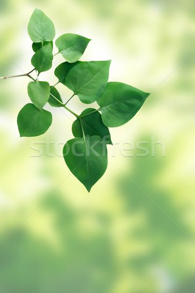 緑の葉 小枝 いい 鮮度 ツリー 葉 ストックフォト © cosma