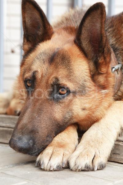 Сток-фото: внутренний · пастух · портрет · голову · собака