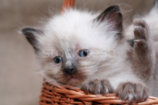 Kitties In Basket Stock photo © cosma