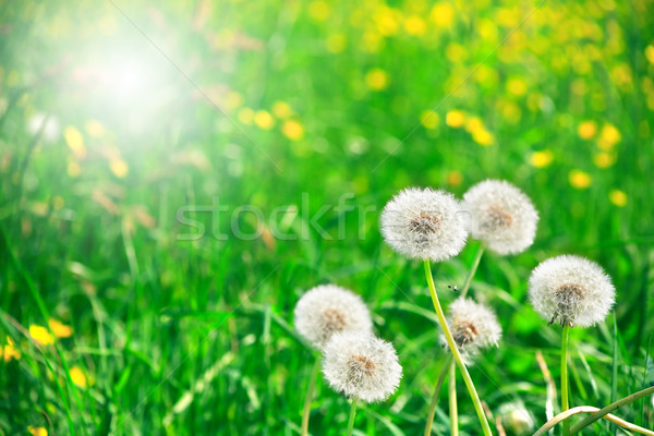Downy Dandelions Stock photo © cosma