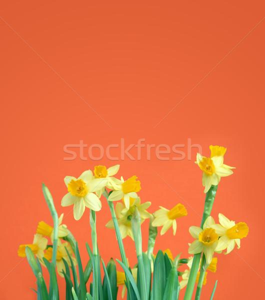 黄色 水仙 祝賀 スイセン 花 ストックフォト © cosma