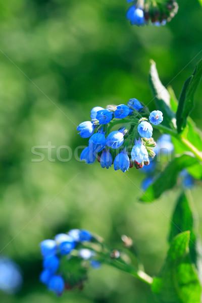Blauw wildflower mooie groene voorjaar Stockfoto © cosma