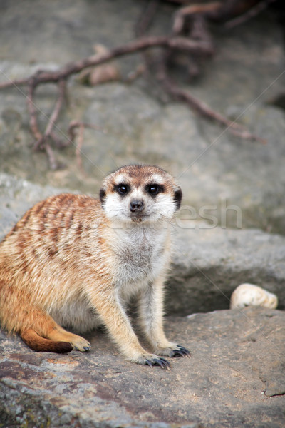 Uyarmak gri taş portre hayvan Stok fotoğraf © cosma