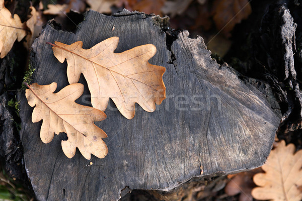 Oak Leaves Stock photo © cosma