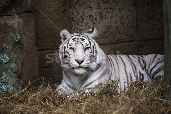 White Tiger In Zoo Stock photo © cosma