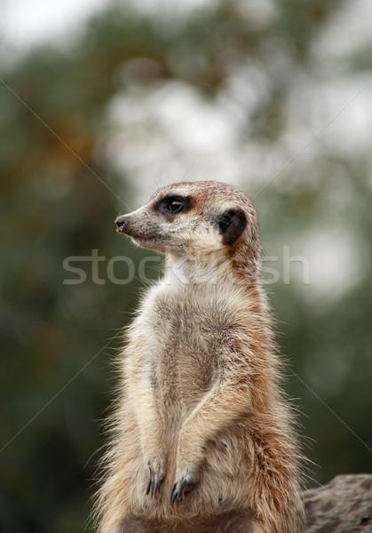 Alert Meerkat Stock photo © cosma