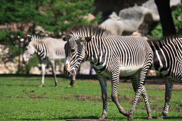 Zebrák kevés sétál zöld fű ló Afrika Stock fotó © cosma