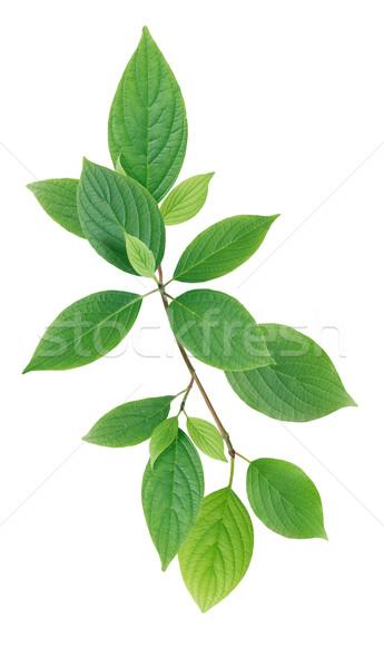 Zöld levelek fehér gally fa nyár zöld Stock fotó © cosma
