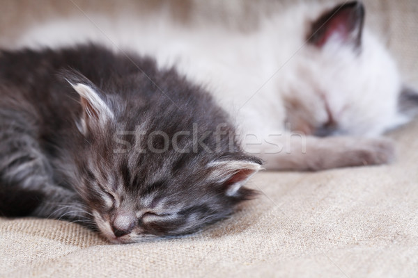 Kitties Sleeping On Canvas Stock photo © cosma