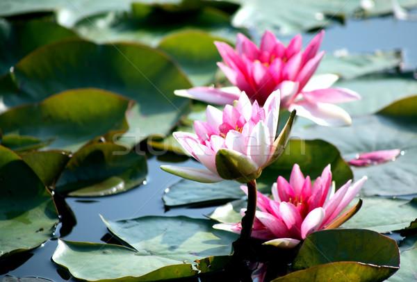 Zöld levelek közelkép szép rózsaszín víz liliomok Stock fotó © cosma