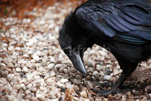 Raaf zwarte permanente grond naar beneden te kijken Stockfoto © cosma
