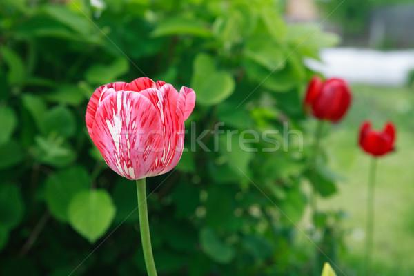 Red Tulip Closeup Stock photo © cosma
