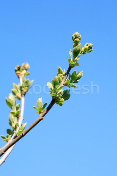 枝 綠葉 春天 季節 符號 樹 商業照片 © cosma