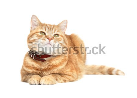 Ginger Cat Stock photo © cosma
