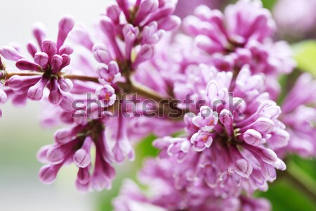 Lilac Purple Twig Macro Stock photo © cosma