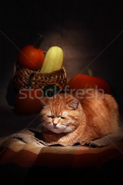 Ginger Domestic Cat Stock photo © cosma