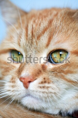 Gengibre gato doméstico retrato olho Foto stock © cosma