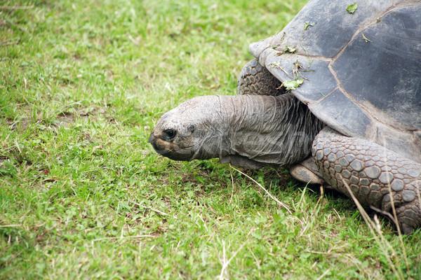 Teknősbéka fű közelkép nagy zöld fű Stock fotó © cosma