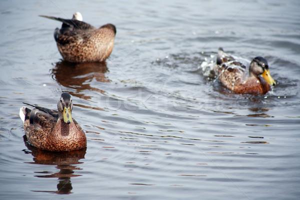 Vad kevés úszik víztükör tó folyó Stock fotó © cosma