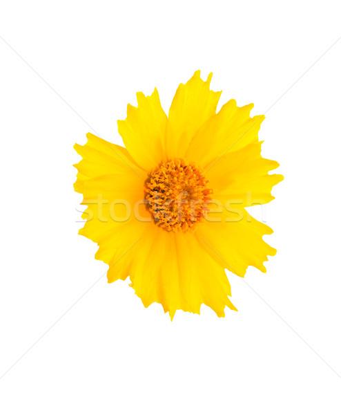 Yellow Flower Head Stock photo © cosma