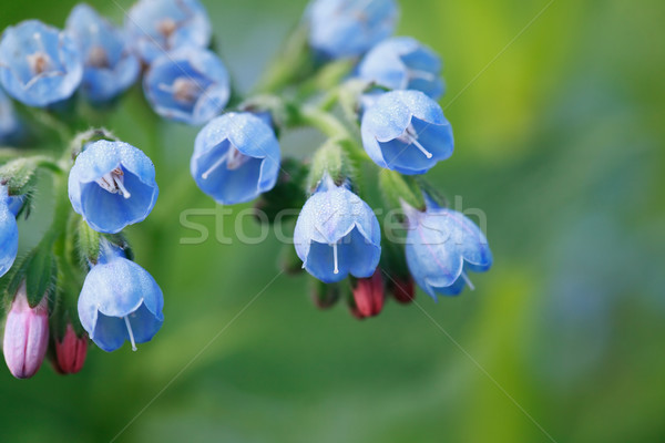 Blue Wildflower Stock photo © cosma