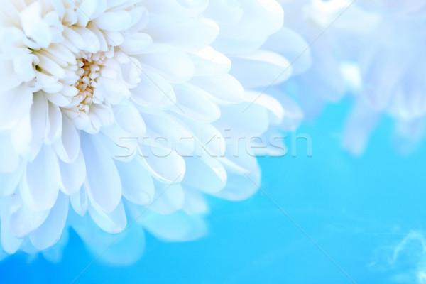Blanco crisantemo romance flor azul agua Foto stock © cosma