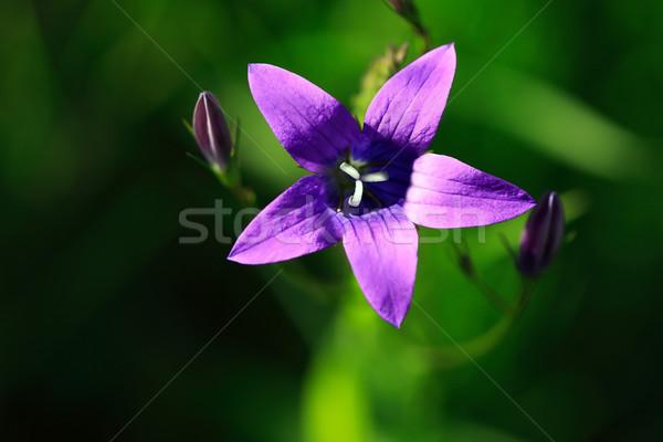 Paars wildflower mooie roze groene abstract Stockfoto © cosma