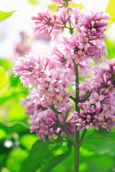 Purple сирень красивой зеленый цветок Сток-фото © cosma