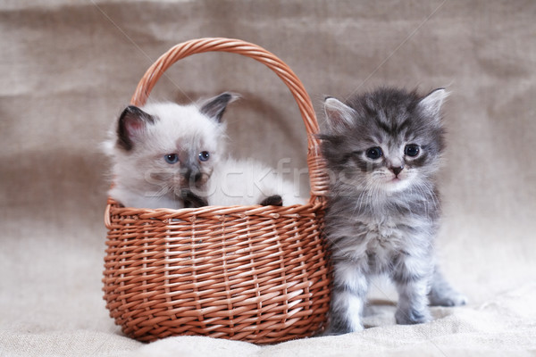 Kitty In Basket Stock photo © cosma