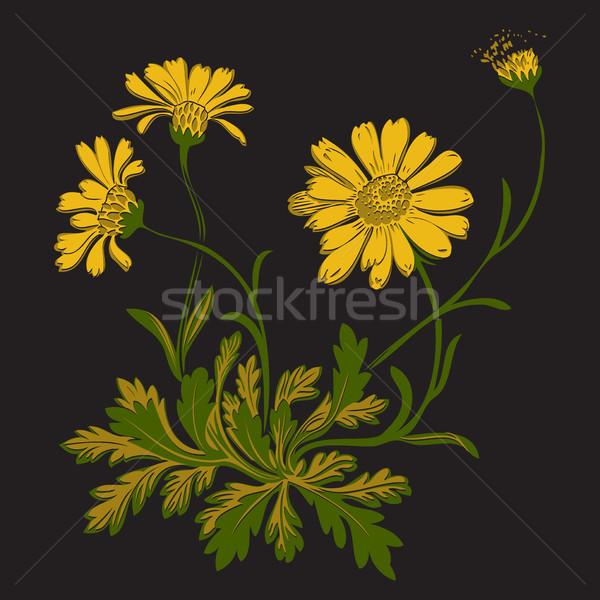 Foto stock: Dandelion · flores · isolado · preto · flor