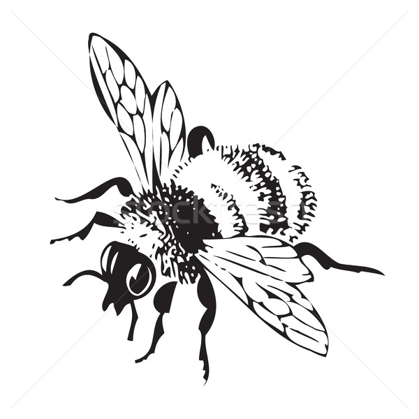 Vector engraving antique illustration of honey flying bee, isola Stock photo © cosveta