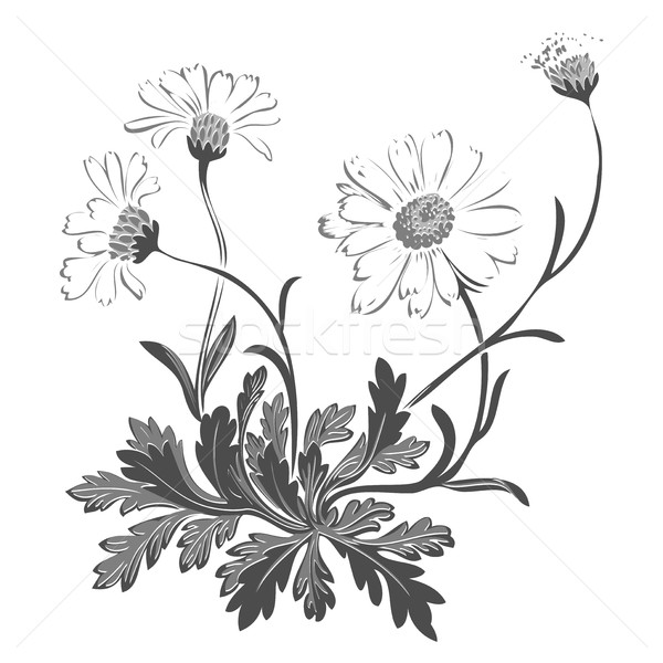 Hand drawn bouquet of chamomile flowers isolated on white backgr Stock photo © cosveta
