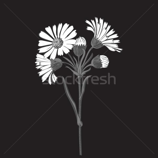 Buquê margarida flores isolado branco Foto stock © cosveta