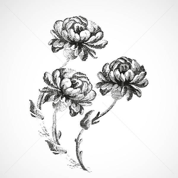 Hand drawn bouquet of three flowers of peonies, vintage isolated Stock photo © cosveta