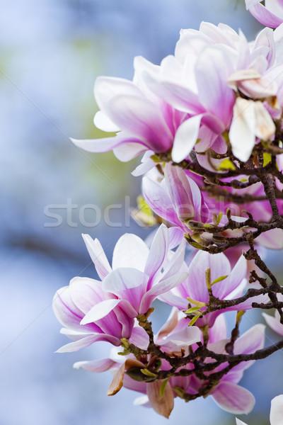 Primo piano magnolia fiore fiore primavera Foto d'archivio © courtyardpix