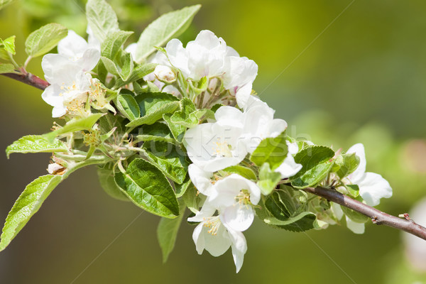 Closeup of Cherry Flower at Blossom  Stock photo © courtyardpix