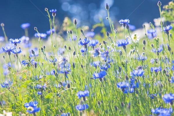 Cornflowers on the Meadow Stock photo © courtyardpix