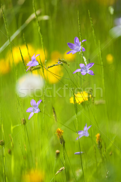 wild flowers Stock photo © courtyardpix